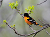 Oriole, Baltimore. Bucks County, Pennsylvania. #511.871.