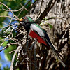 Trogon, Elegant. Santa Rita Mountains Arizona. #515.376.