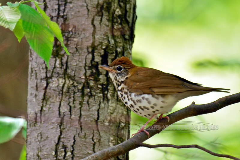 Thrush, Wood (Hylocichla mustelina) alerted to my approach jumped up on a limb above ground for a better vantage point. Bucks Co., PA. #516.1152. 2x3 ratio format.