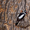 Woodpecker, Hairy 2017.11.29#654. Near Tusyan ruins Grand Canyon, <br /> Arizona.