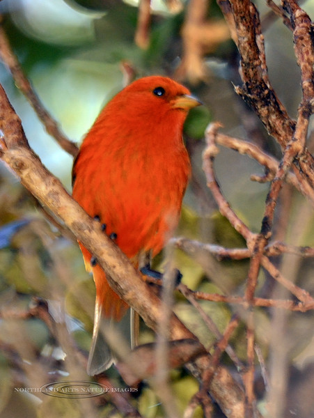 Akepa. One of the endangered wet forest endemic birds. Hakalau Forest, Mauna Kea, Hawaii. #23.1423. 2x3 ratio format.