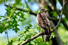 Raptors & allies-Hawk, Broad-winged. Scans for prey under the canopy of a tall black oak.Penn's Woods,PA. #519.018.