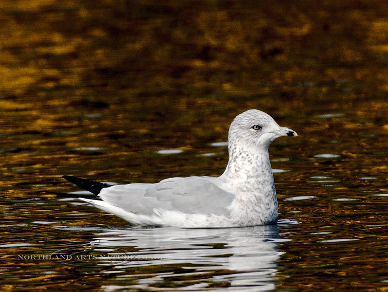 Gull, Ring-billed 2017.11.20#317. A 1rst year bird. Yavapai Lake, Prescott Valley Arizona.