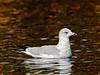 Gull, Ring-billed, 1rst year bird. Yavapai County, Arizona. #1120.317.