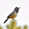 Wren, Cactus 2017.12.14#1732. On Chainfruit Cholla. Near Apache Junction, Pinal County Arizona.