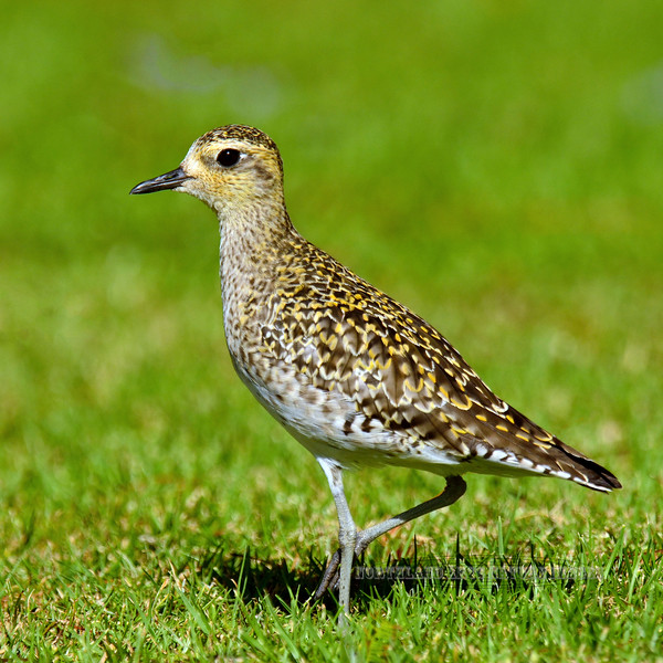 Plover, Pacific Golden. Route 190,Hawaii. #27.332.