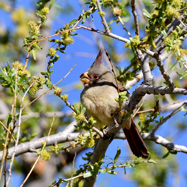 Pyrrhuloxia. White Water Draw, Arizona. #320.307.
