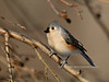 Titmouse,Tufted. Bucks County, PA. #113.061. 3x4 ratio format.