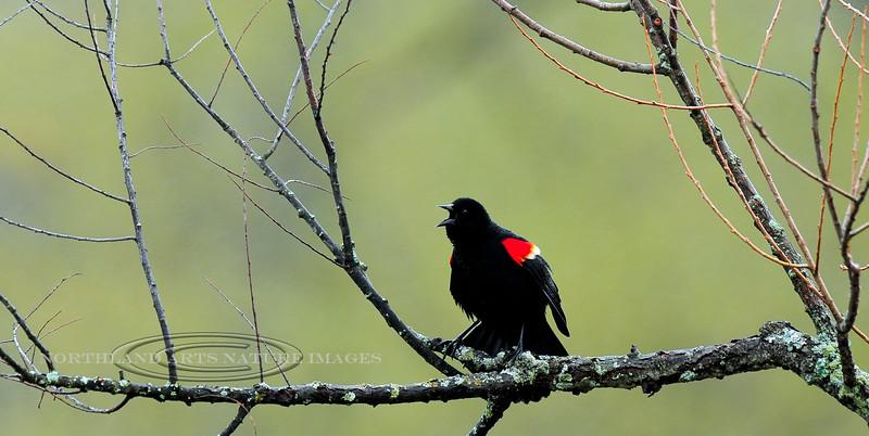 Blackbird, Red-winged. Chenanga Co.,New York. #51.223.