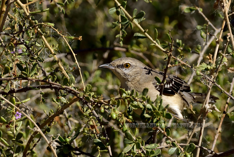 Mockingbird, Northern. Maricopa County, Arizona. #1213.743.