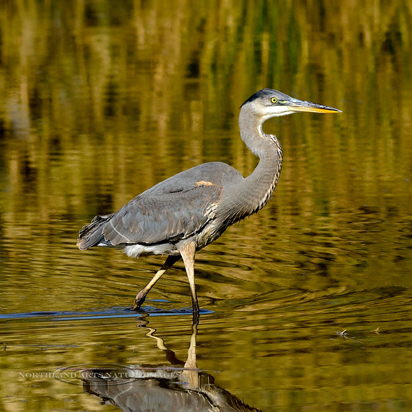 Heron, Great Blue. Maricopa County, Arizona. #1213.1482.