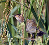 Bunting, Indigo 2020.9.19#5262.2. A female in the wetlands near Cape May Point, New Jersey.