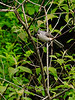 Titmouse, Tufted. Quarry Road, Bucks County, Pennsylvania. #55.003.