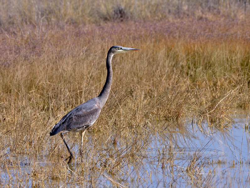 Heron, Great Blue 2018.11.21#659. Twin Lakes, Wilcox Arizona.
