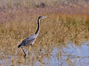 Heron, Great Blue. Twin Lakes, Wilcox Arizona. #1121.659.