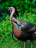 Turkey, Rio species. Route 190, Hawaii. #22.1038. 3x4 ratio format.
