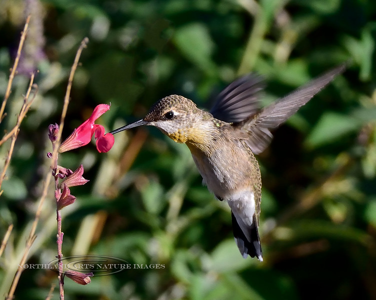 Hummingbird, Black-chinned 2019.6.5#603. A mature female on a Butterfly Bush, near Hereford Arizona.