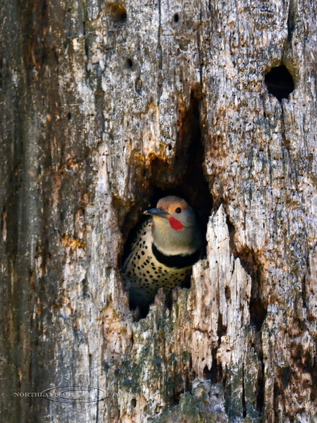 Flicker, N. Red-shafted. In a nest tree. Clearwater forest, Idaho. #511.118. 2x3 ratio format.