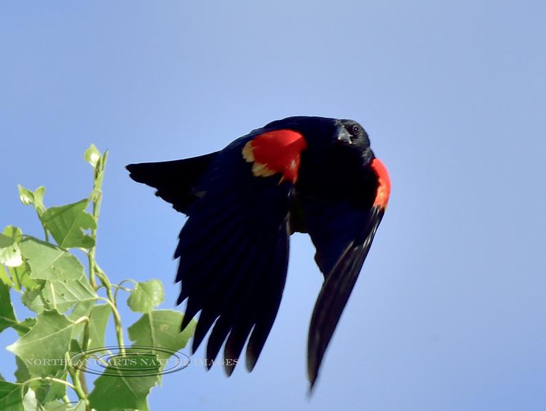 Blackbird, Red-winged 2018.5.9#040. Sedona Wetlands, Yavapai County Arizona.
