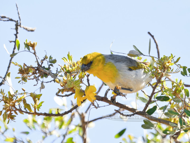 Palila. An endangered endemic Honeycreeper of the dry forest. Pu'u La'au, Mauna Kea, Hawaii. #26.442.