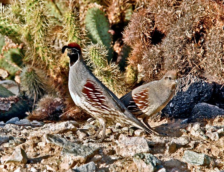 Quail,Gambel's. Mohave Desert, Needles, CA. #227.0003. 3x4 ratio format.