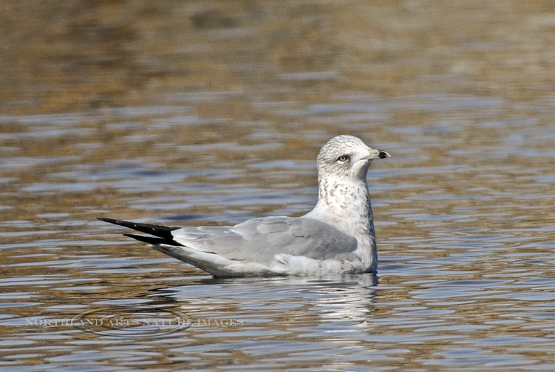 Gull, Ring-billed 2017.11.20#324. A 1rst year bird. Yavapai Lake, Prescott Valley Arizona.