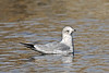 Gull, Ring-billed, 1rst year bird. Yavapai County, Arizona. #1120.324.
