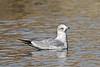 Gull, Ring-billed, 1rst year bird. Yavapai County, Arizona. #1120.324.