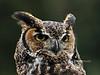 Raptors & allies-Owl, Great Horned 2011.3.4#098. Near Seattle Washington.