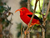 'I'iwi. An endangered endemic wet forest Honey Creeper. Hakalau Forest, Mauna Kea, Hawaii. #23.1328. 3x4 ratio format.