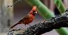 Cardinal, Northern. Sonora Desert, Arizona. #53.494.
