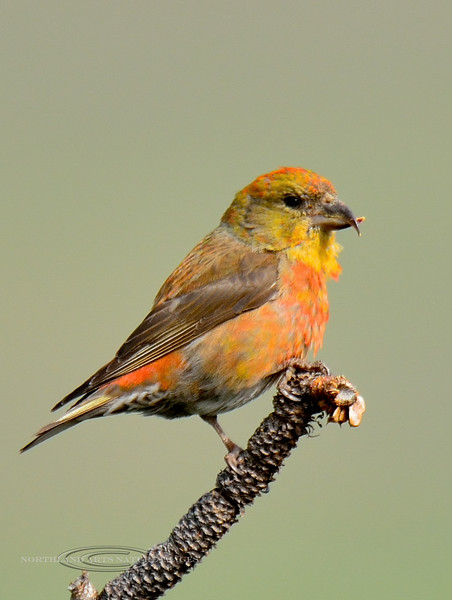 Crossbill, Red 2015.5.17#849. Flathead Lake, Rocky Mountains Montana.