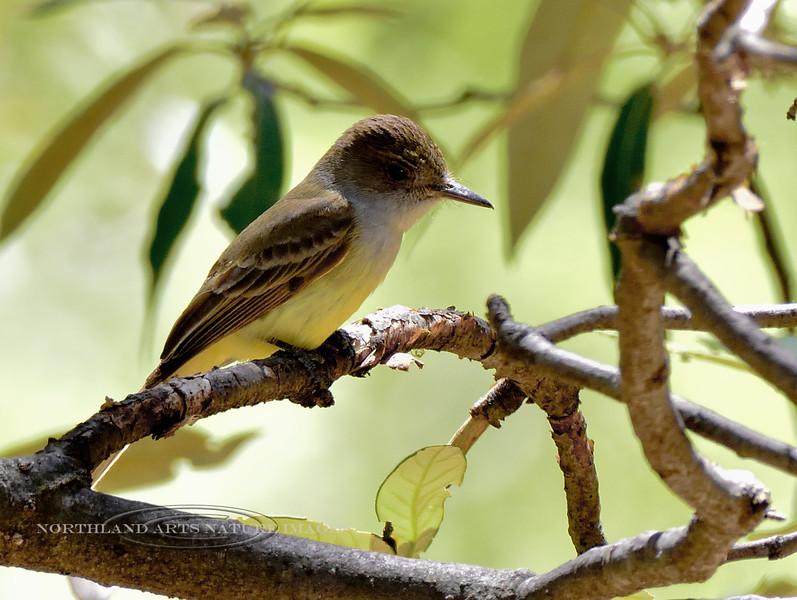 Flycatcher, Dusky-capped, 2. The same bird from the previous image. Santa Rita Mountains Arizona. #515.120.