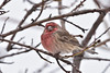 Finch, House 2018.12.31#1157. Prescott Valley, Arizona.