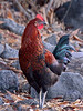 Jungle Fowl. Near Honokohau Harbor, Hawaii. #22.462. 3x4 ratio format.