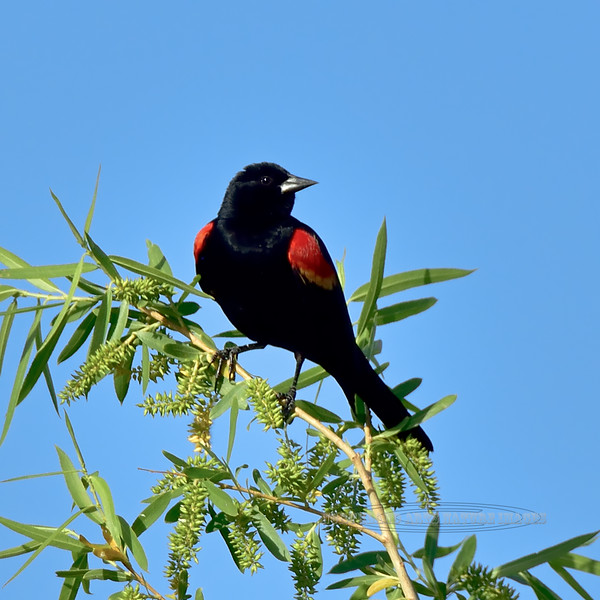 Blackbird, Red-winged. Yavapai County, Arizona. #59.108.