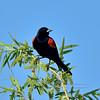 Blackbird, Red-winged. Yavapai County, Arizona. #59.108.
