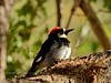 Acorn Woodpecker 2017.11.1#345. Mingus Mountain, Yavapai County Arizona.