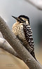 Woodpecker, Ladder-backed 2020.3.11#9421.1X. A mature female. Prescott Valley Arizona.