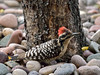 Woodpecker, Ladder-backed 2017.5.7#242. Prescott Valley, Arizona.