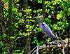 Heron, Great Blue. Peace Valley,PA. #55.021. 3x4 ratio format.