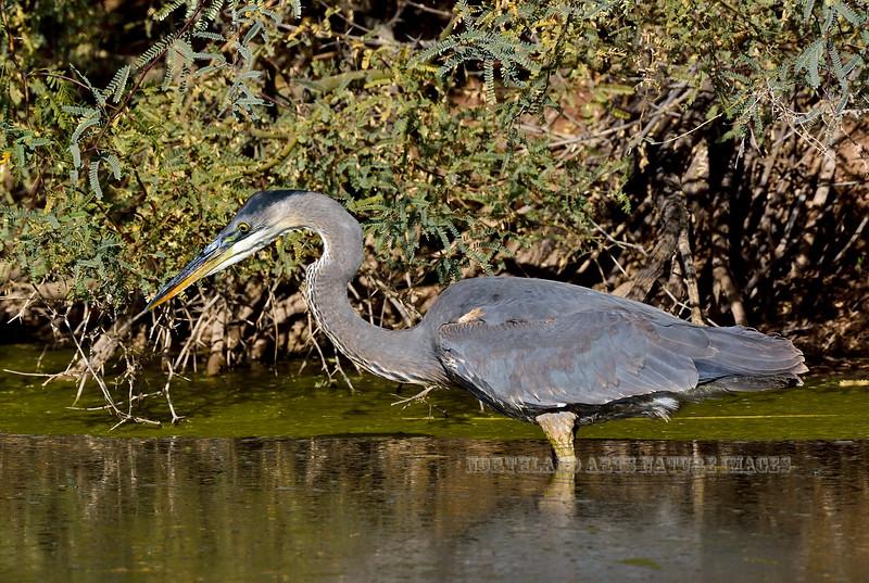 Heron, Great Blue 2017.12.13#1572. Gilbert, Maricopa County Arizona.