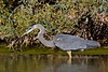 Heron, Great Blue. Maricopa County, Arizona. #1213.1572.