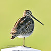 Snipe. On a farm post. Camas prairie, Idaho. #513.404. 1x1 ratio format.