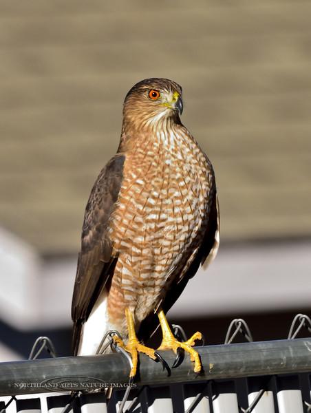 Raptors & allies-Hawk, Cooper's 2018.12.26#004. Prescott Valley Arizona.