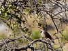 "Flicker, Northern ""red shafted"". Coronado Forest, Arizona. #319.074."