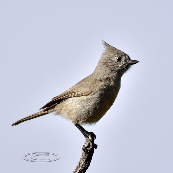 Titmouse, Juniper. Kaibab Forest, Arizona. #116.046.