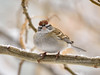 Sparrow, Chipping 2018.12.31#882. Prescott Valley Arizona.