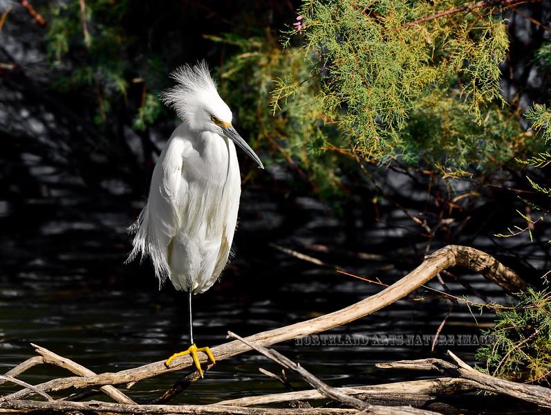 Egret, Snowy. Maricopa County, Arizona. #127.1033.