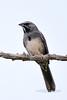 Sparrow, Five-striped 2019.6.4#233. Santa Rita Mountains Arizona.